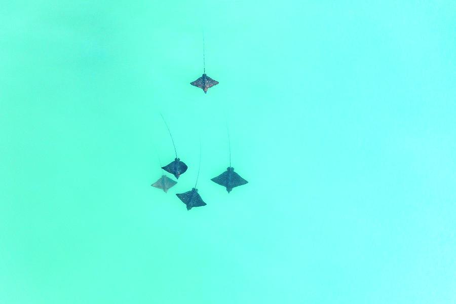 Eagle Rays Photograph