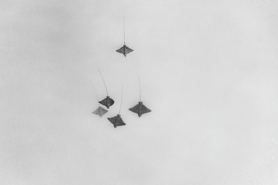 Eagle Rays In Black And White Photograph