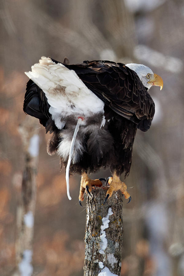 Eagle shat in the woods by Paul Freidlund