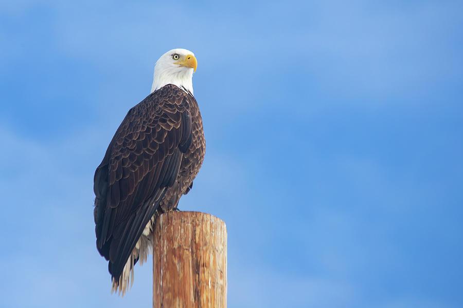 Eagle Striking A Pose Photograph