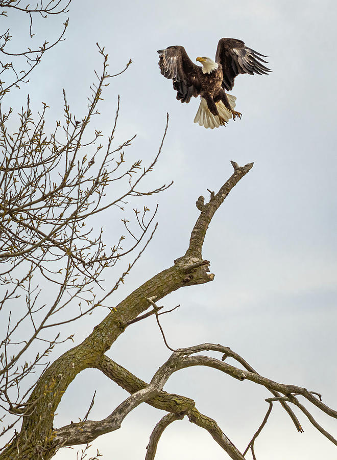 Eagle Photograph - Eagle  Take Off by Joann Long