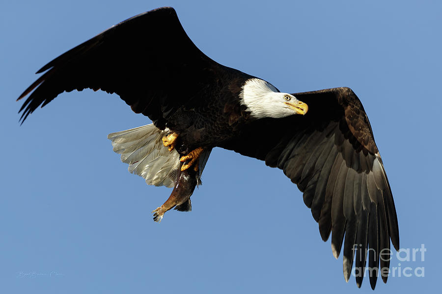 Eagle with Fish by Beve Brown-Clark Photography