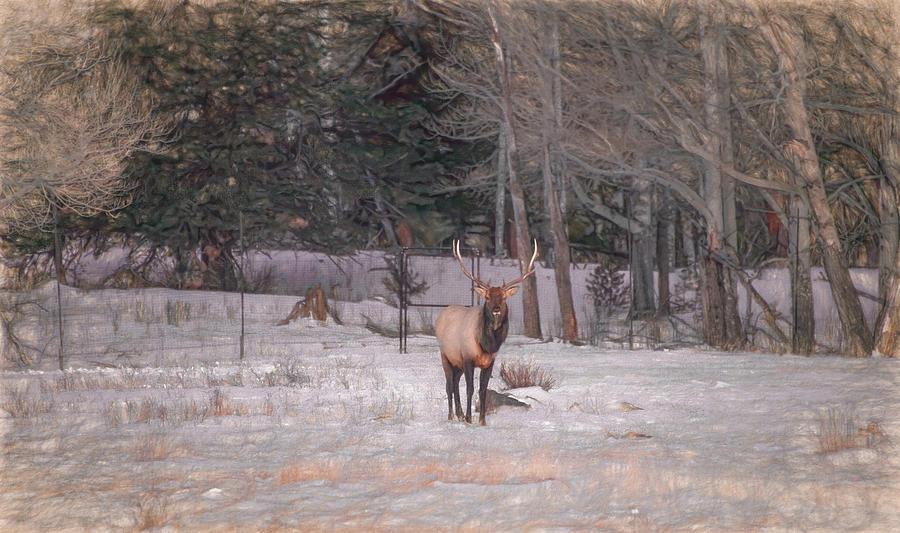 Early Morning Elk, Rocky Mountain National Park by Marcy Wielfaert