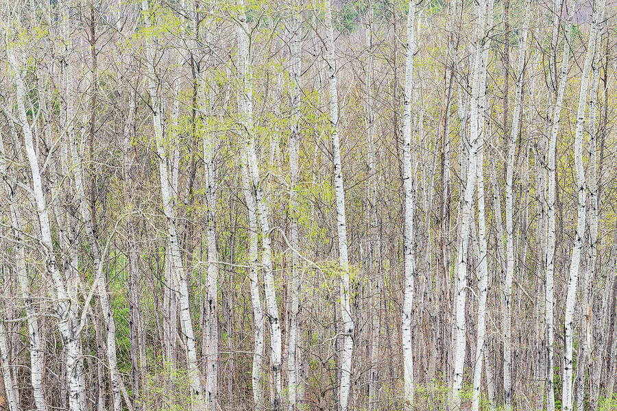 Early Spring Woods Photograph