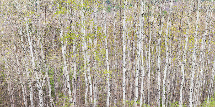 Early Spring Woods Panorama Photograph