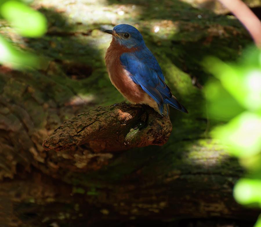 eastern bluebird 1 by Chris Flees