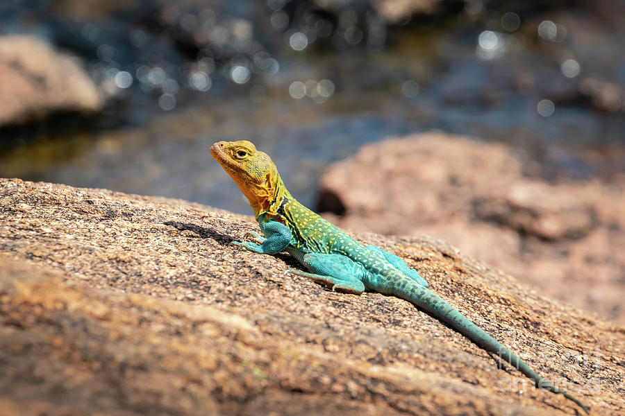 Eastern Collared Lizard, Also Known As A Photograph