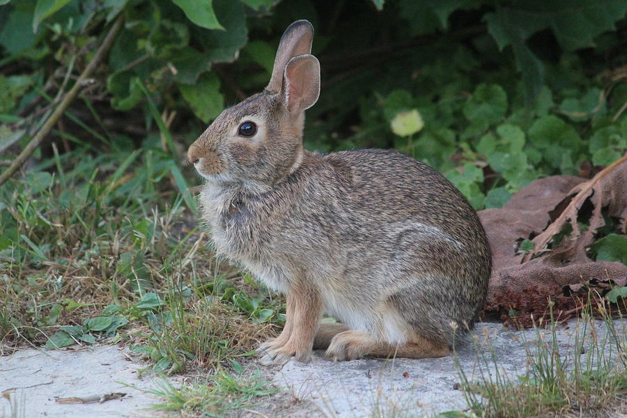 Eastern Cottontail Photograph - Eastern Cottontail Portrait by Callen Harty