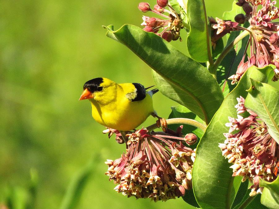 Eastern Goldfinch on Milkweed Photograph by Lori Frisch