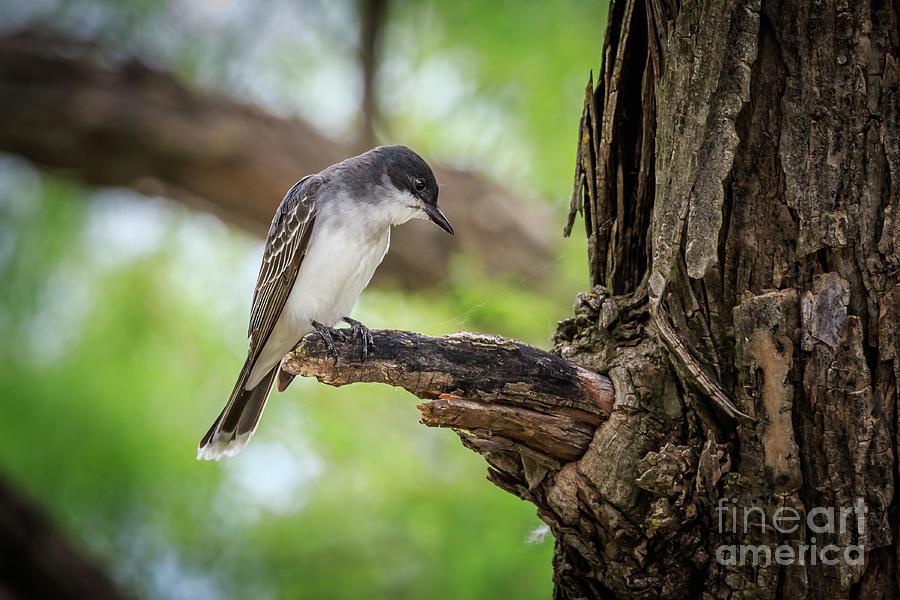 Eastern Kingbird In Oklahoma Photograph