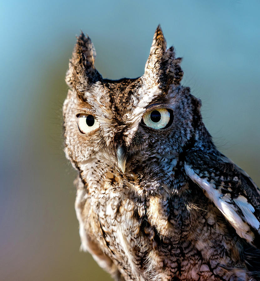 Eastern Screech Owl Portrait by Judi Dressler