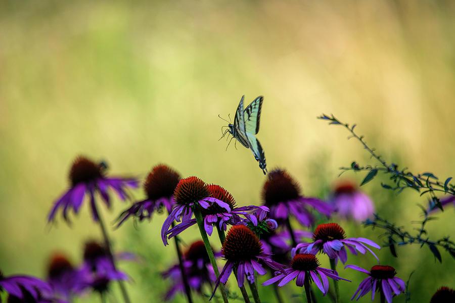 Eastern Tiger Swallowtail flying off after feeding on a Purple Coneflower  by Dan Friend