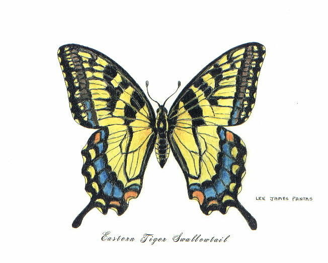 Butterfly Drawing - Eastern Tiger Swallowtail by Lee Pantas