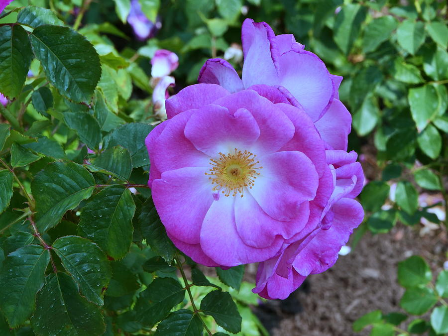 Easy to Please Floribunda Rose by Allen Beatty