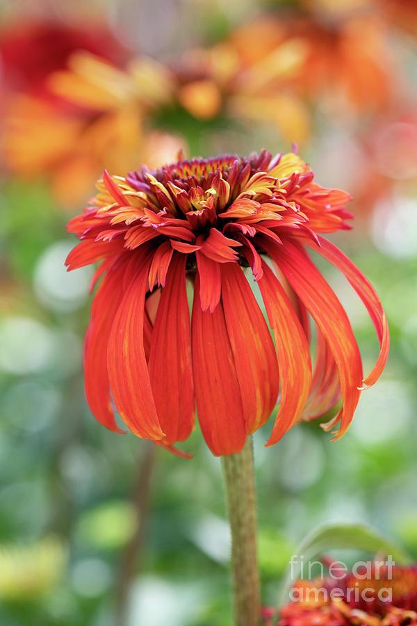 Echinacea Hot Papaya Coneflower Close Up  by Tim Gainey