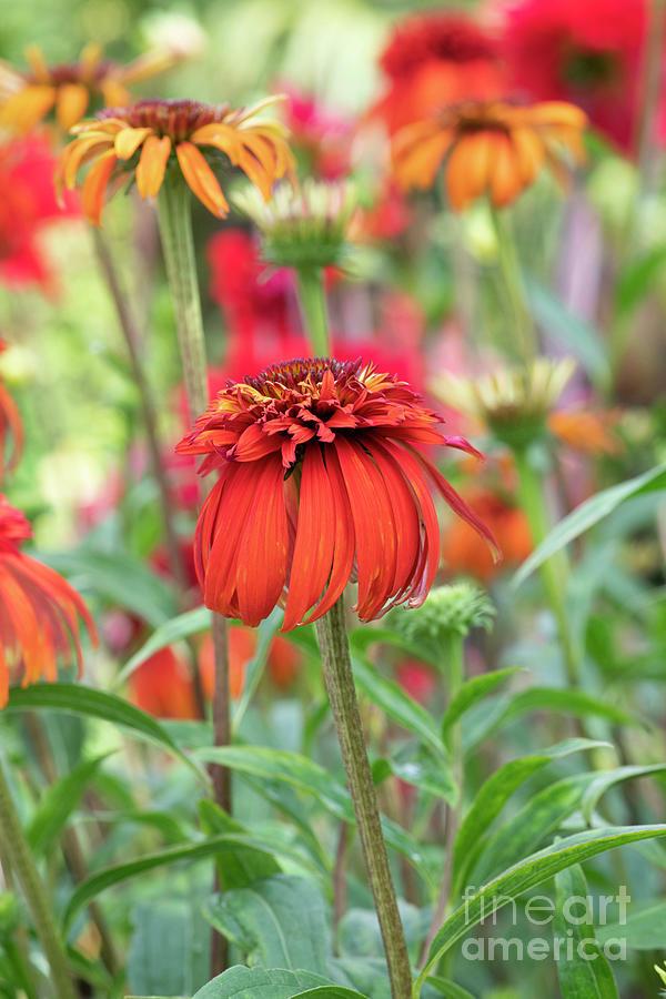 Echinacea Hot Papaya Flower in Summer by Tim Gainey