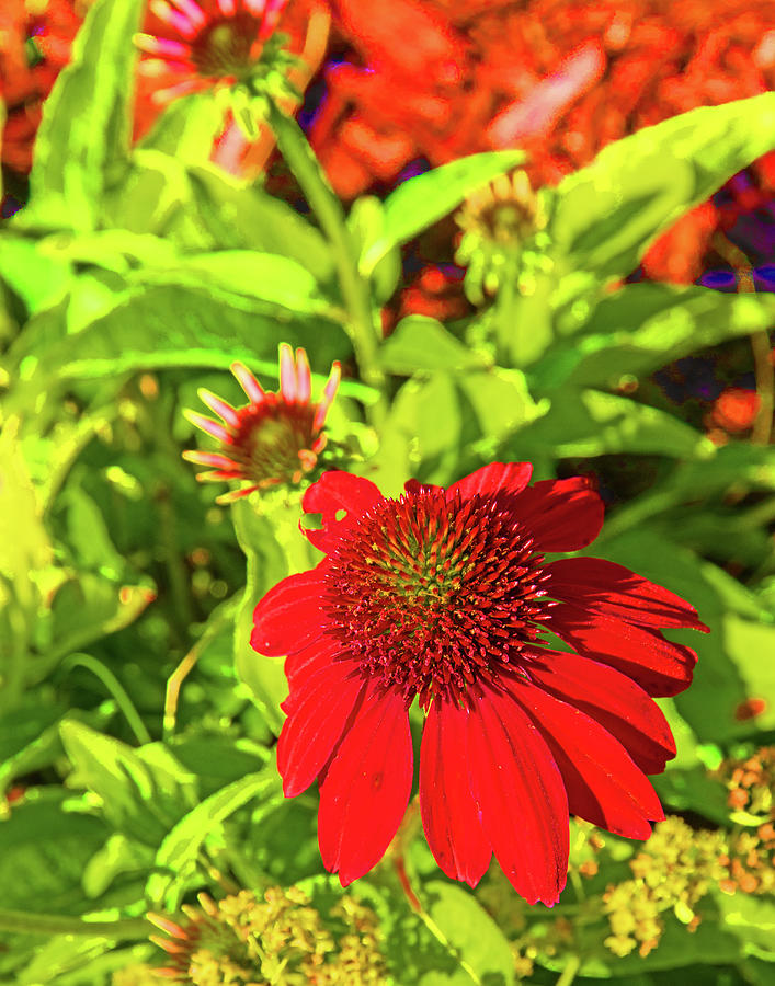 Echinacea Red 0740 Photograph by David Frederick