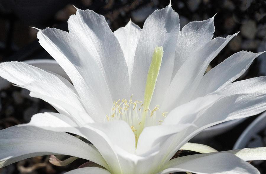 Echinopsis Subdenudata Fuzzy Navel Cactus Flower Photograph