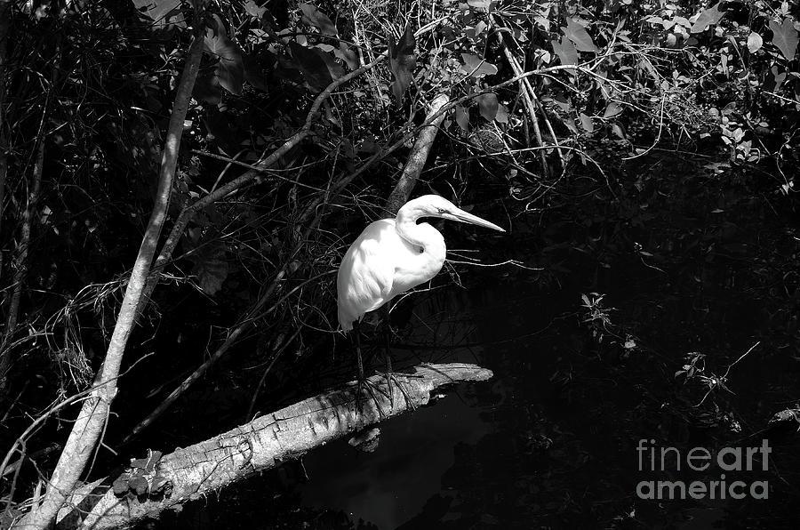 White Egret Photograph - Egret by Felix Lai