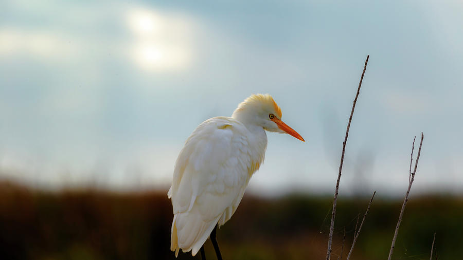 Egret by Kevin Banker