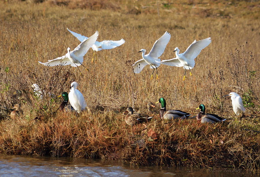 Egrets and Mallards by Brian Tada