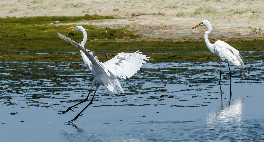 Egrets At The Pond Photograph