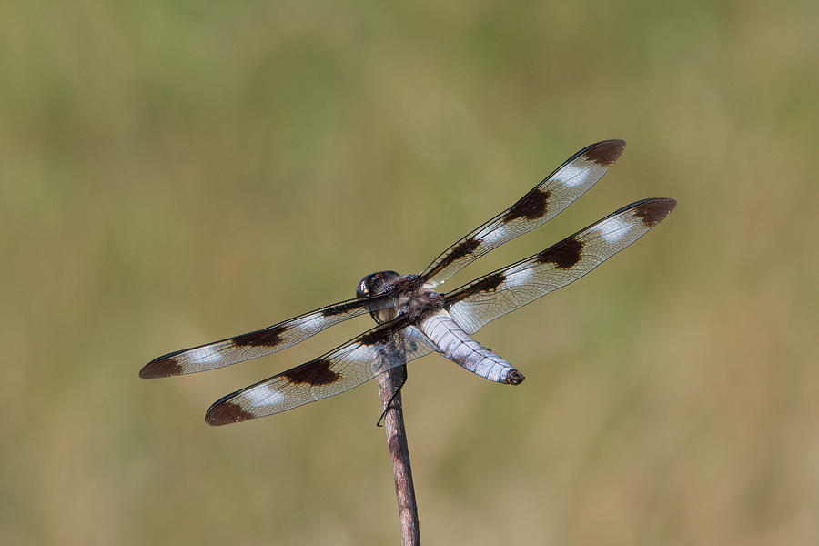 Eight Spotted Skimmer Dragonfly by Patti Deters