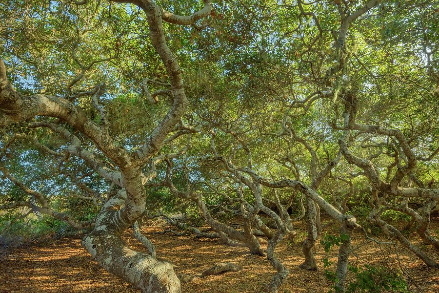 El Moro Photograph - El Moro Pygmy Oaks by Alexander Kunz