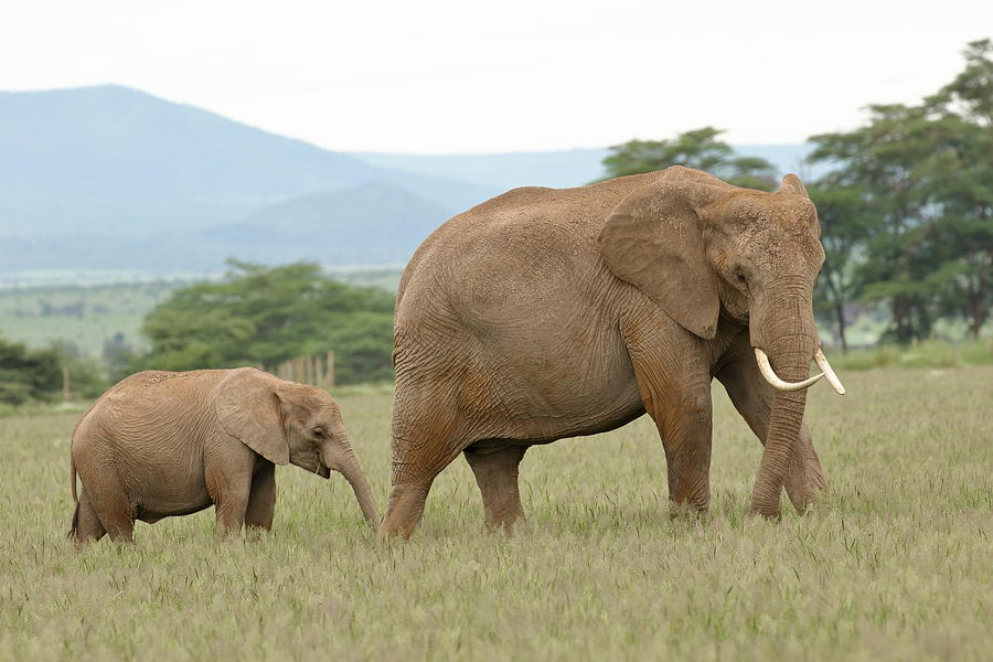 Elephant and Calf At Amboseli by Steve Wolfe