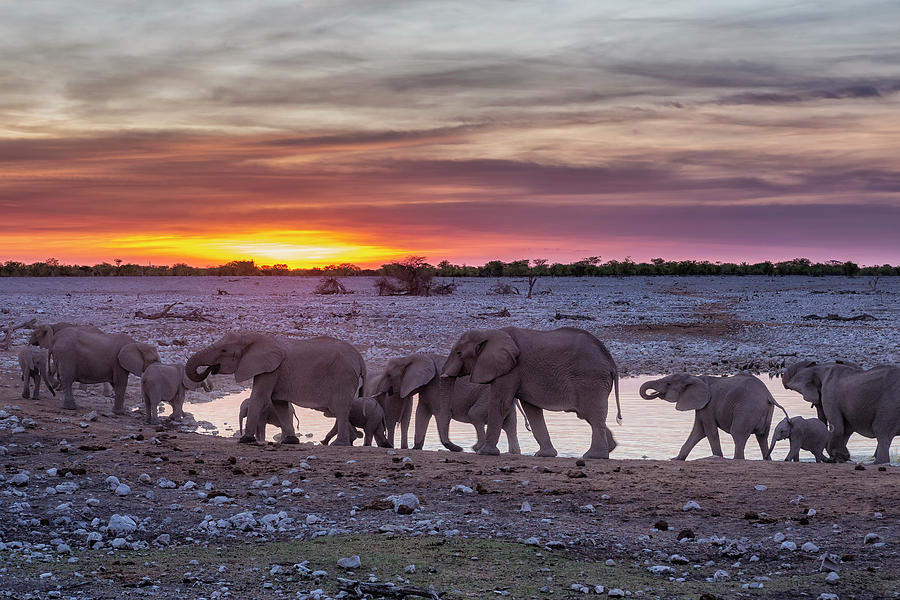 Elephant Herd at Okaukuejo Waterhole at Sunset by Belinda Greb