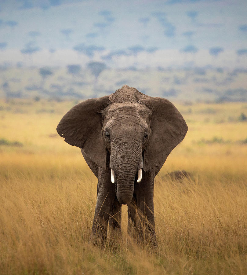 Elephant on the Mara by Diana Andersen