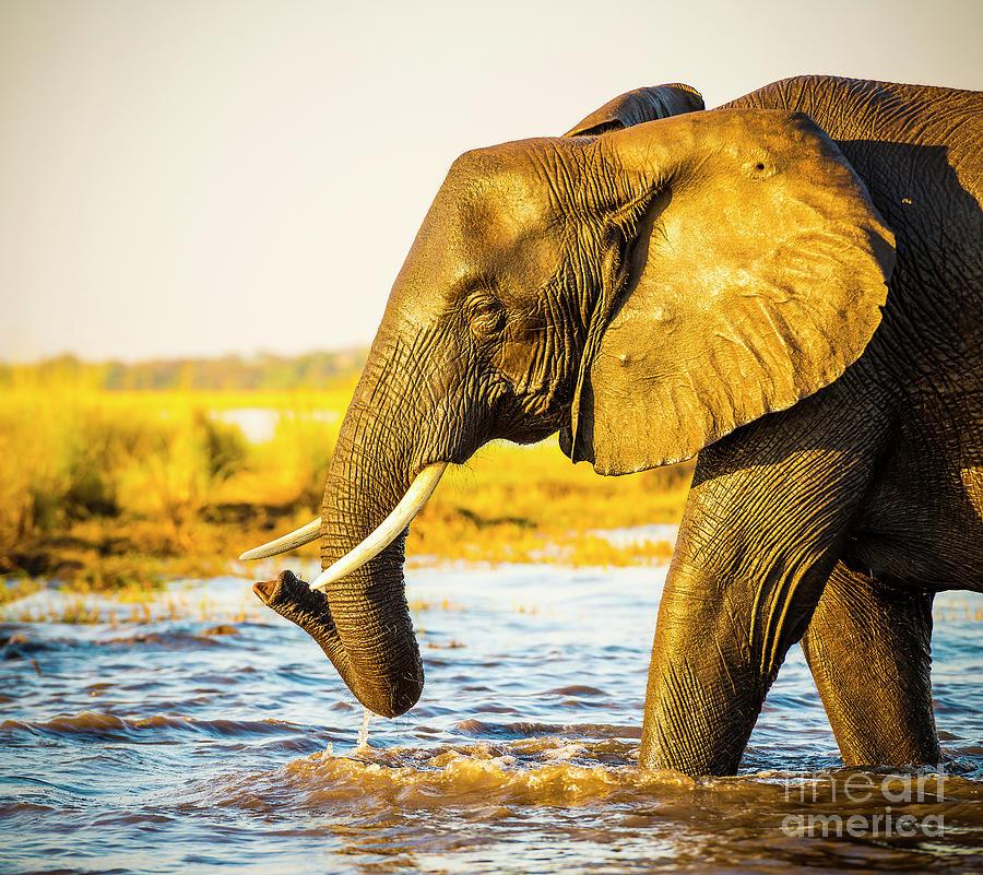 Elephant Portrait Photograph