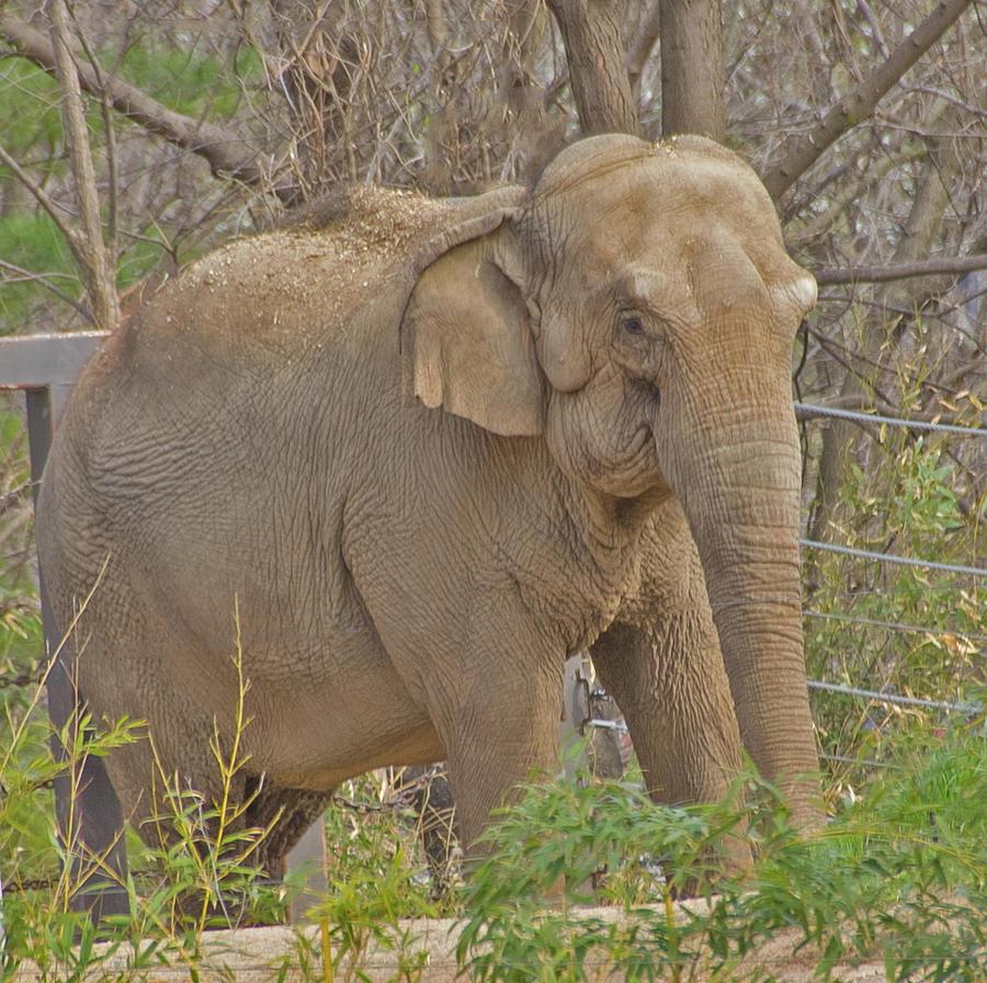 elephant St Louis April 2015 2 4152020 5903 Photograph by David Frederick
