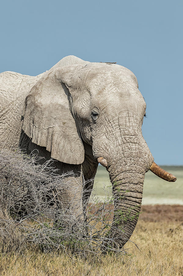 Elephant Walking with a Stick on Its Head, No. 2 by Belinda Greb