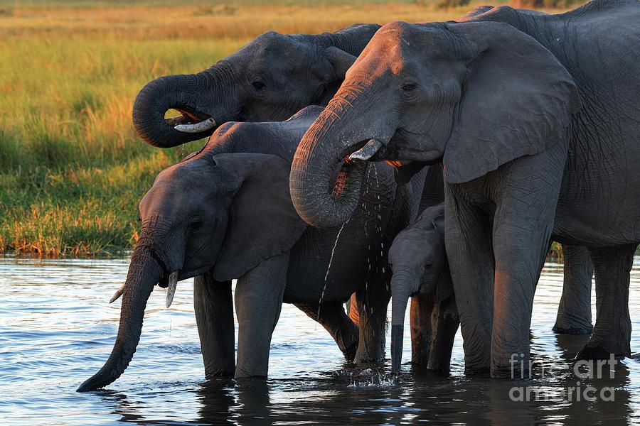 Africa Photograph - Elephants Drinking In Waterhole At Sunset In Okavango Delta Of Botswana by Tom Schwabel