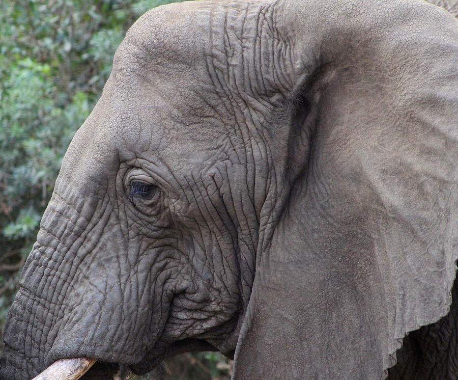 Elephants Will Always Have A Special Place In My Heart by Fiona Kennard