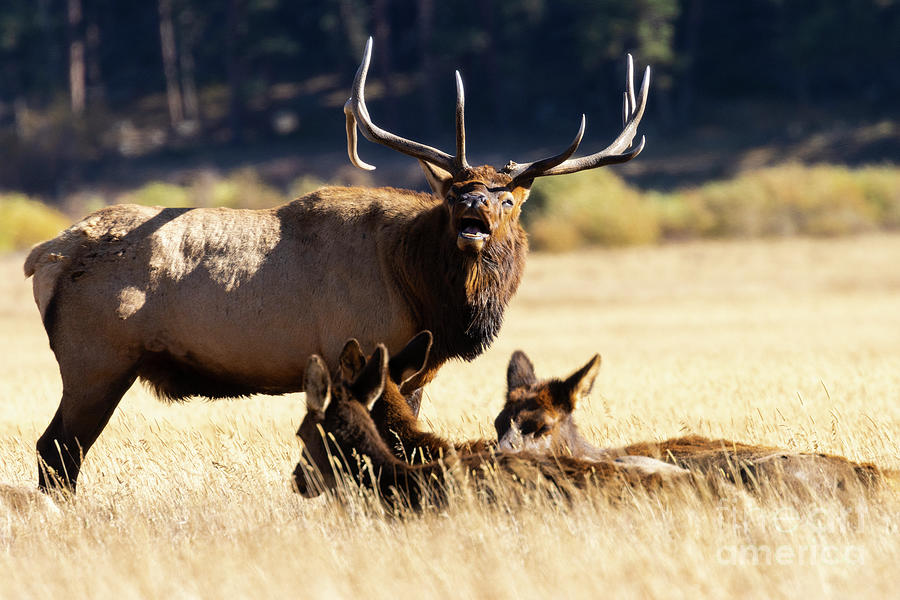 Elk Bugling In Rocky Mountain National Park Photograph
