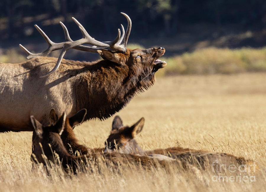Elk Bugling Over Cows Rocky Mountain National Park Photograph