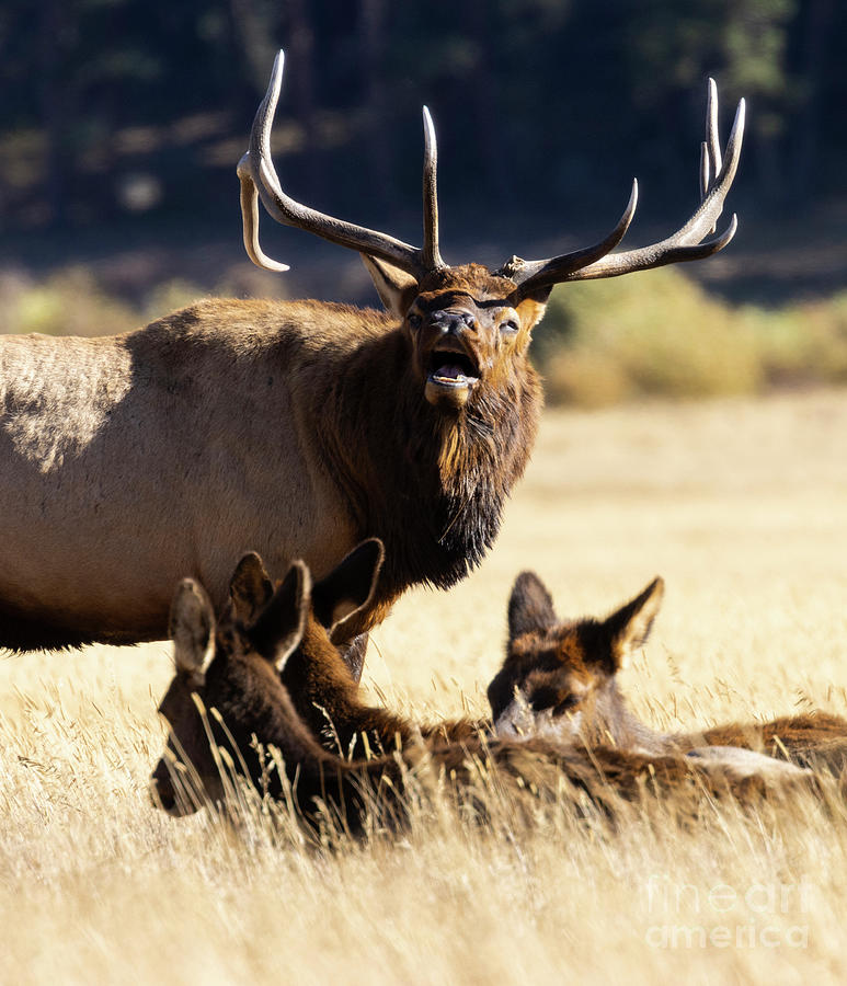 Elk Bugling With Three Cows Photograph