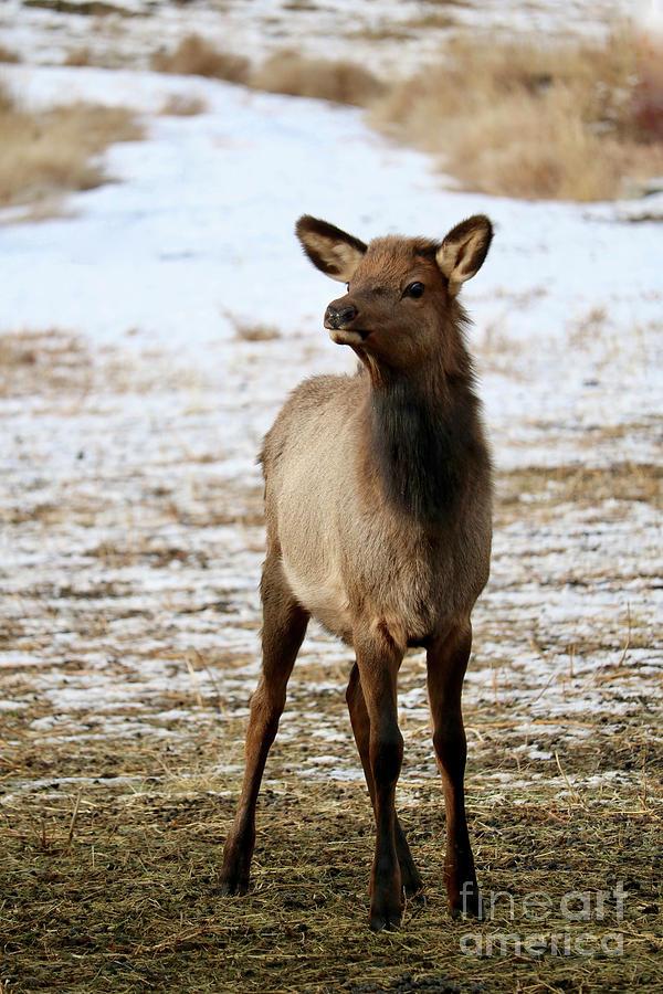 Elk Calf in Winter by Carol Groenen