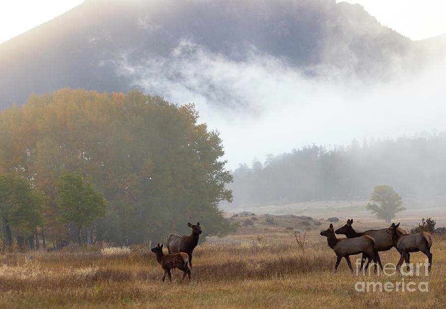 Elk Herd On A Beautiful Rocky Mountain Evening Photograph