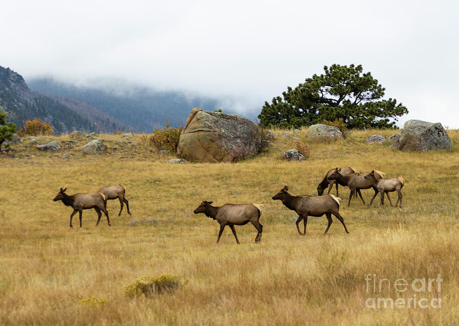 Elk Herd On A Foggy Rocky Mountain Evening Photograph