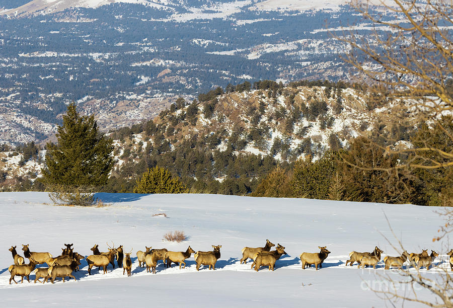 Elk Herd On Snowy Mountain Clearing Photograph