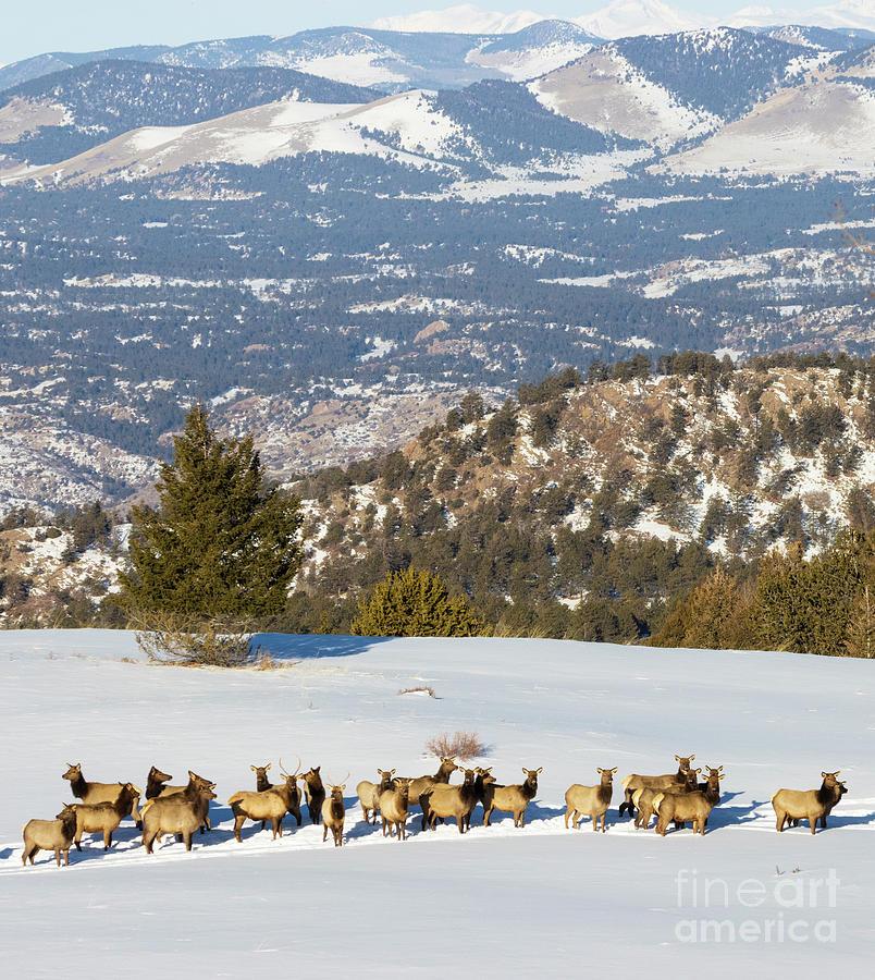 Elk Herd On Snowy Mountain Photograph