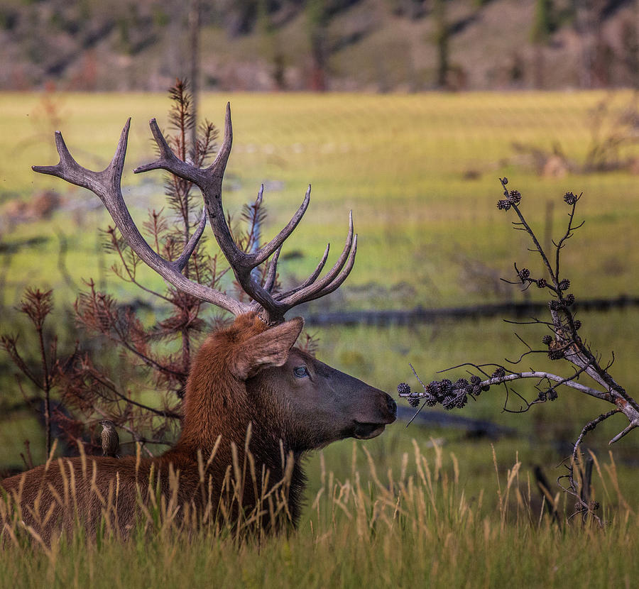 Bull Elk Resting in Jasper National Park, Canada by Ronald Santini