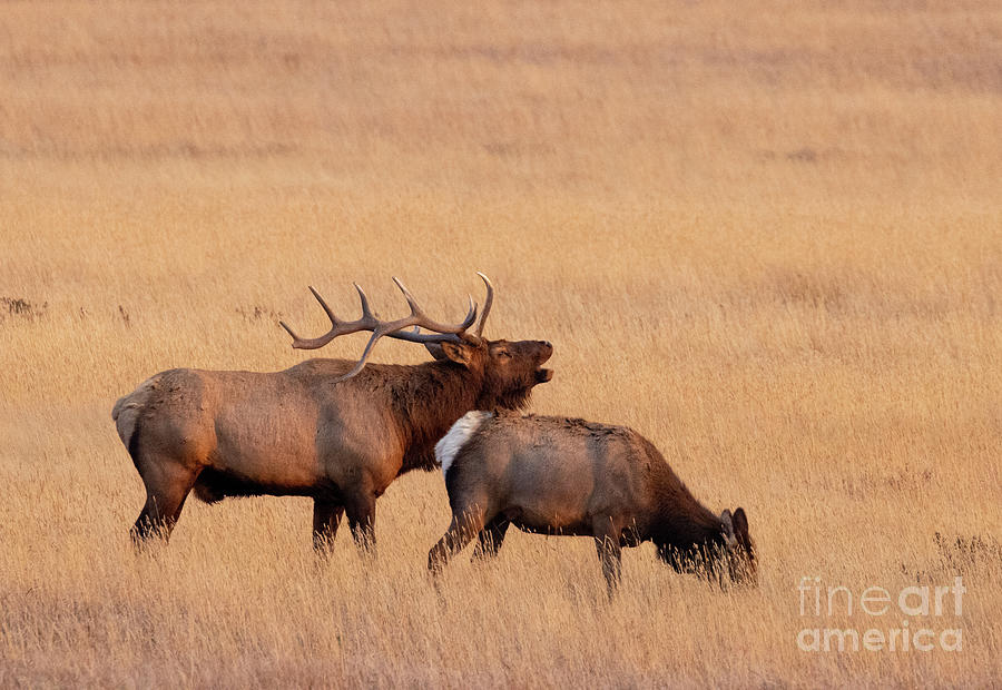 Elk Rut In Rocky Mountain National Park Photograph