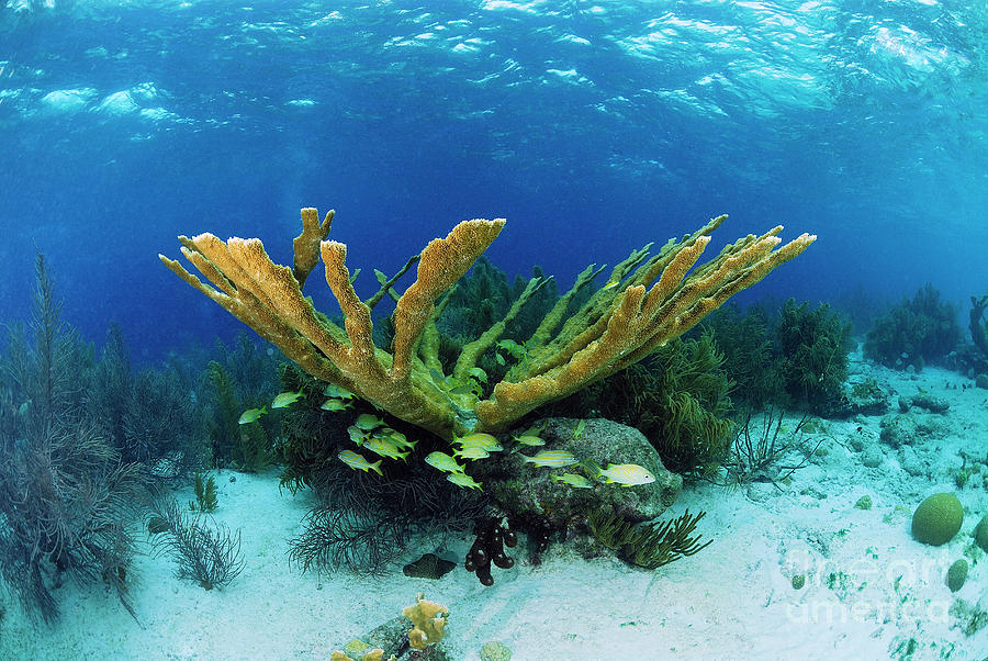 Elkhorn Coral Photograph by Hans Leijnse