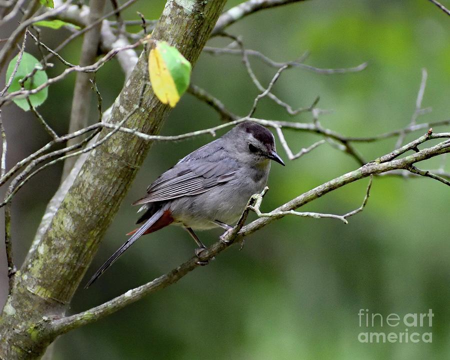 Elusive Catbird Photograph