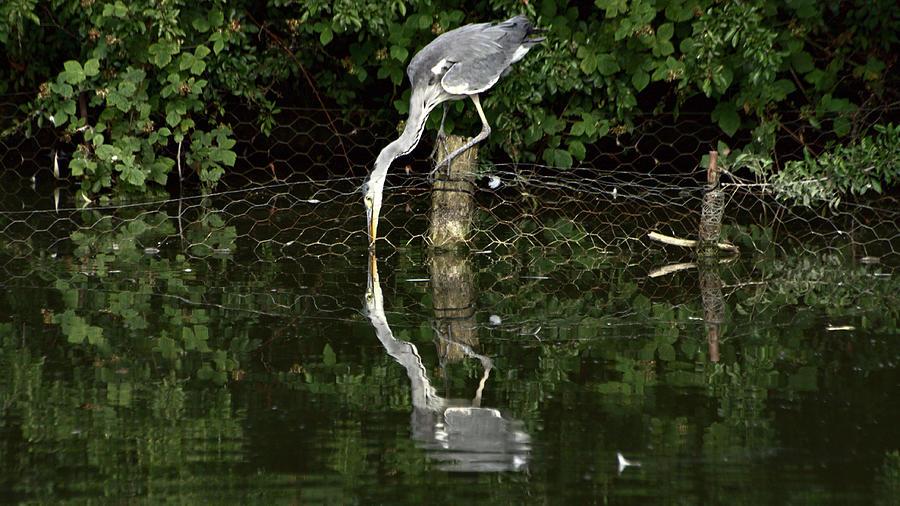 Elusive Grey Heron Fishing by Jeremy Hayden
