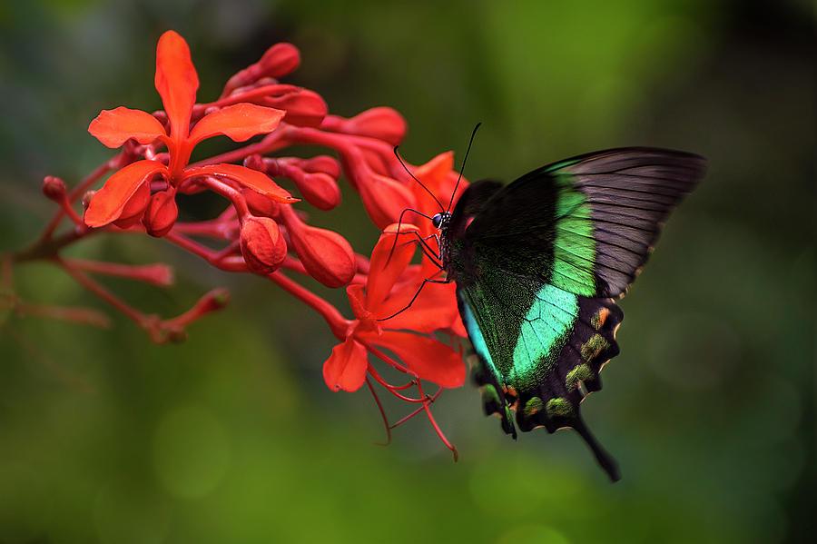 Emerald Swallowtail by John Poon